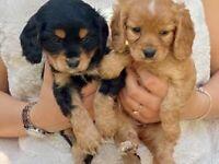 Cavalier King Charles Spaniel x Show Cocker Spaniel puppies for sale