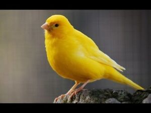 je cherche canarie femelle - I am looking for female canary