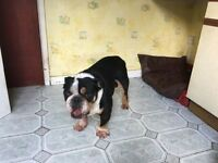 Triple Colour Male English Bulldog For Sale
