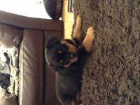 gorgeous big boned female Rottweiler puppy