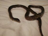 Goins king snake