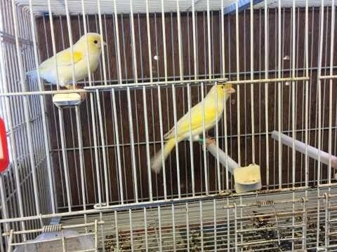 Yellow Dimorphic Canary Pair