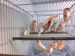 Red mosaic Canary's! ! !