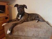 Roxie - 6 Month Female Lurcher puppy