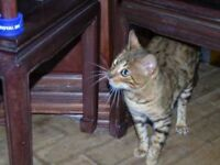 Adorable brown spotted Bengal female 20 months old 5 gen pedigree many champs in lines
