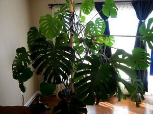 MONSTERA HOUSE PLANT FOR SALE Sarnia Sarnia Area image 1