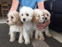 Adorable Cockerpoo puppies **ready now**