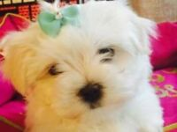 extremely cute KC registered maltese puppies! ready to go now