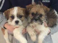 Shitzu x border terrier puppies for sale