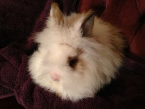 Lionhead Companion Rabbit! The Prince!