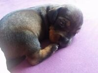 Dachshund Wire-Haired standard Puppies for sale KC registered