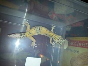High yellow leopard gecko female proven breeder regen