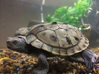Mississippi Map Turtle with set up
