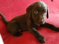 KC Reg Chocolate Labrador - last male pup left ready 1st March 2018