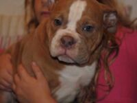 REDUCED!!!!.Gorgeous performance Old Tyme bulldog pups- REDUCED
