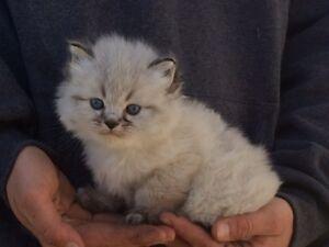 8 weeks himalayan male kitten