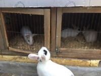 Rabbits for sales