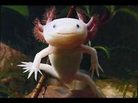 Breeding group of Leucistic Axolotl and accessories no offers pz