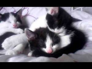 Black and White Kittens Blacktown Blacktown Area Preview