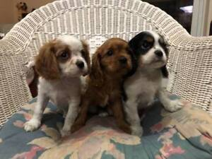 puppy for sale 2 males  1 female,,,, ready to go now