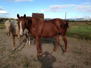 For Sale - 2 QH Broodmares - Both in Foal Mareeba Tablelands Preview