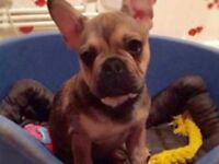 beautiful french bulldog for sale