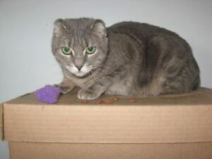 "Young Female Cat - Tabby - Grey: ""Angel"""