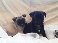 kc reg puppies boys