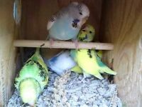 Baby budgies ready to go now