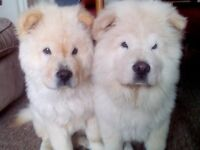 CHOW CHOW PUPPYS