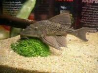 Aquarium catfish pleco/bristlenose catfish