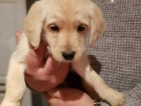 LABRADOODLE PUPPIES 14 WKS OLD FOREVER HOMES NEEDED NOW