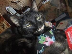 Cat lost in Tullamarine area (REWARD) Tullamarine Hume Area Preview