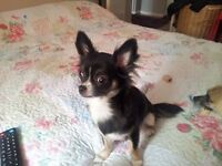 Missing Chihuahua young female pup