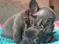 French bulldog Cheapest ones on the net !!!!!!!!!