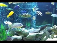 Various fish, African Chichlids, big and small, for sale - different prices, negotiable