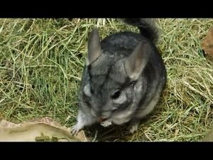 Baled hay/straw & pine shavings delivered 4 your small animals Stratford Kitchener Area image 5
