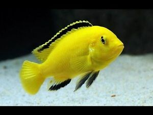 electric yellow cichlid  Male  6 cm