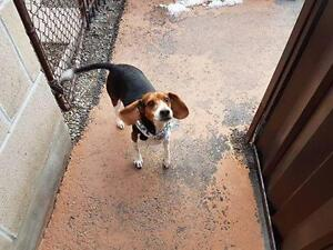 "Adult Male Dog - Beagle: ""Fergus"""