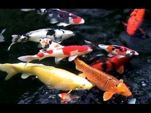 WANTED koi for pond