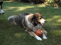 "Adult Male Dog - Collie-Border Collie: ""Rex"""