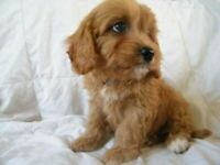 Stunning red F1 cavapoos/ fully health tested