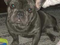 Bulldog French Puppy Girl Kc Reg