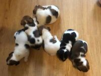 Jack Russell Puppies 4 remaining