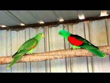 Crimsons Red Winged Australian Parrots. Golden Grove Tea Tree Gully Area Preview