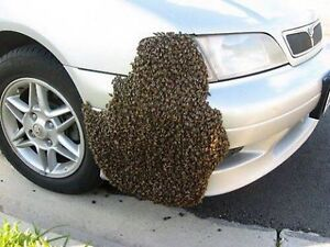 BEES! Bee swarm removal and Bee nest extraction - London London Ontario image 5