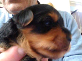 Yorkshire Terrier Puppies 3 Boys 1 Girl