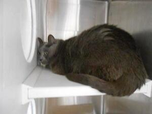 "Senior Female Cat - Russian Blue-Domestic Short Hair: ""Emily"""