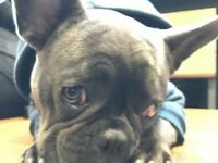 Blue French Bulldog - Very Rare Colour - 8 months old
