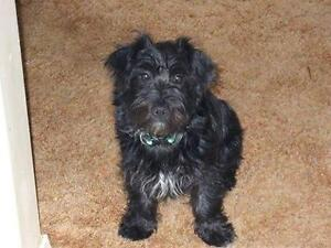 "Adult Male Dog - Schnauzer-Poodle: ""Logan"""